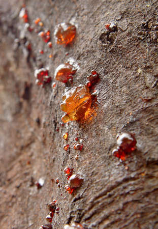wattle: Gum seeping from the bark of a wattle tree Stock Photo