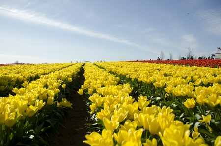 a field of tulips in full bloom in the spring photo