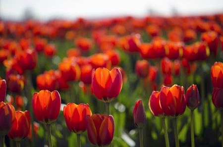 field of red tulips in full bloom - spring photo