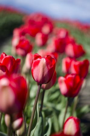 a field of red tulips with one in the focus photo