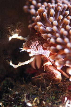 porcelain crab photo