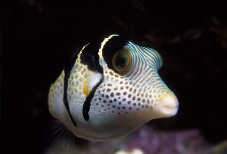 puffer: Black-Saddled Toby Puffer Fish