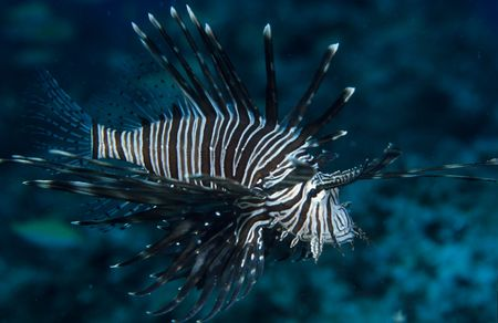 Lionfish Stock Photo - 262740
