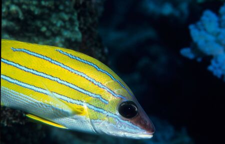 Blue stripped Snapper fish photo