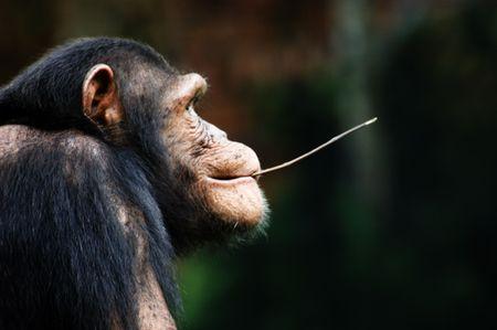Chimpanzee photo