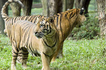 sumatran: Sumatran Tigers