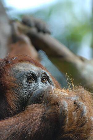 orang: Rehabilitated Orang Utan, Sarawak, Malaysian Borneo