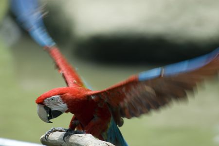 Parrot taking off Stock Photo - 571774