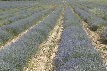 southern europe: Summer Lavender fields in  Provence, the south of France, Europe