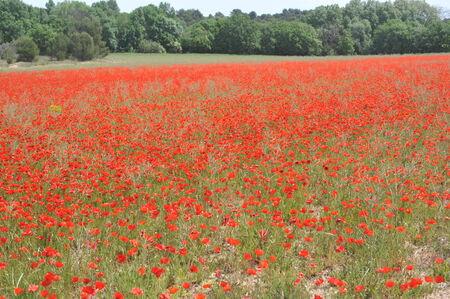 poppy field: Poppy Field
