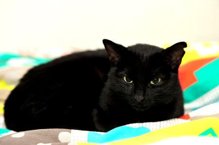 A Black female cat on white background in studio photo