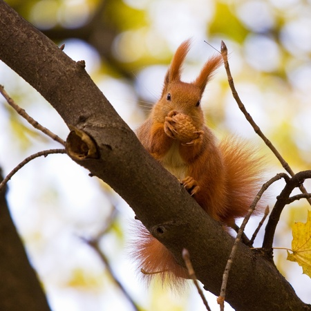 Red squirrel in the natural environment Stock Photo