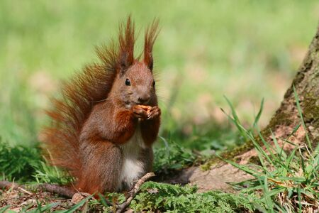 fluffy tuft: Red squirrel on the grass