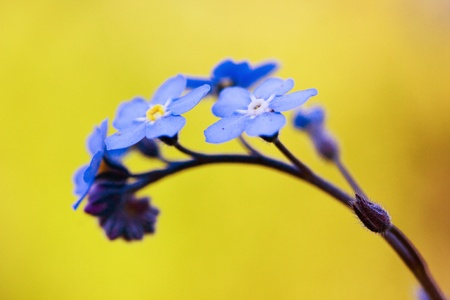Blue forget-me-not flower on the yellow background Stock Photo
