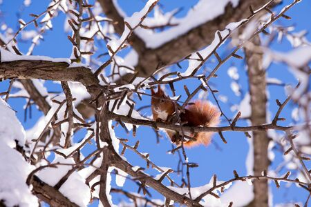 Red squirrel on the snowy branch photo