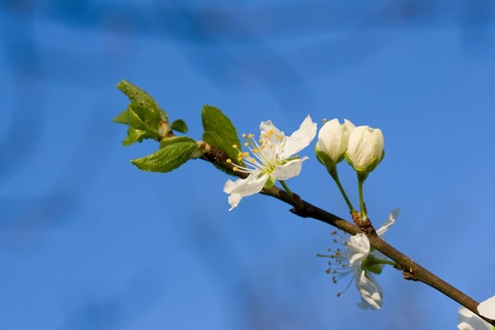 White cherry flower photo