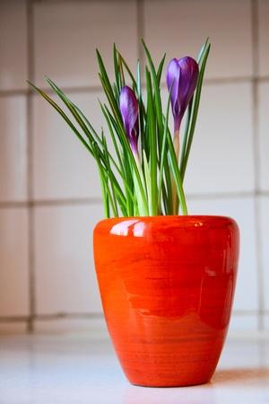 Violect crocus in a pot