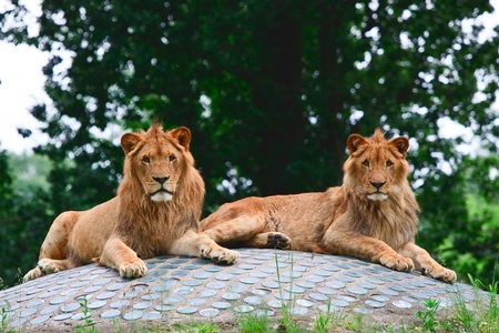 Pair of lions in the zoo Stock Photo
