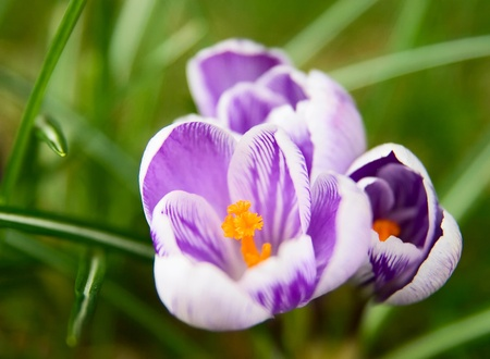 White and violet Pickwick crocus in the grass Stock Photo
