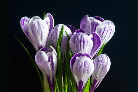 Violet and white Pickwick crocuses on the black background Stock Photo