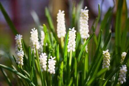 Bunch of white grape hyacinths in the grass Stock Photo