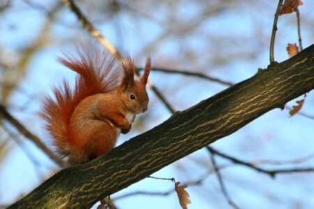 Red Eurasian squirrel sitting on the tree