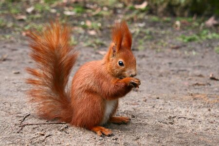 fluffy tuft: Red Eurasian squirrel sitting on the road Stock Photo