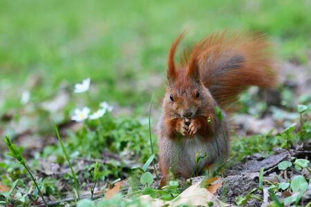 Red Eurasian squirrel on the grass Stock Photo - 8417620