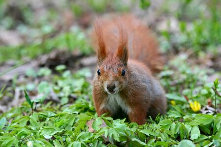 fluffy tuft: Red Eurasian squirrel on the grass