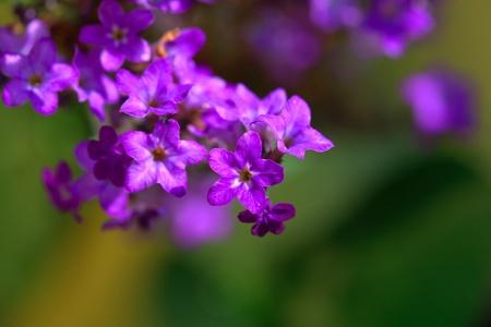 Common lilac closeup