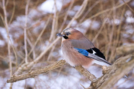 Jay on snowy branch photo