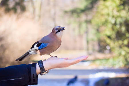 Eurasian jay standing on male palm Stock Photo