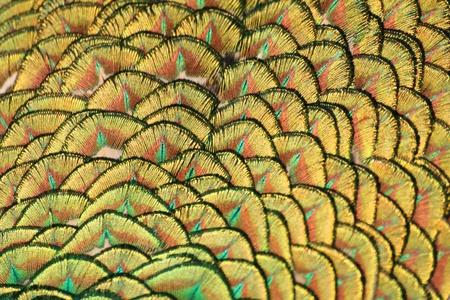 Yellow and green peacock tail macro