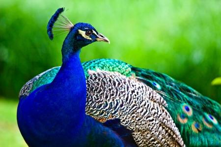 pluma de pavo real: Pavo real indio sobre el fondo verde