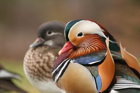Pair of mandarin ducks Stock Photo