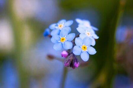 Blue forget-me-not flower in the grass