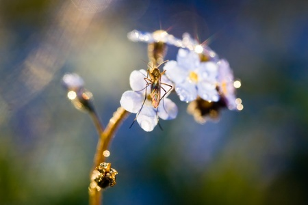 Blue forget-me-not flower with a mosquito on it Stock Photo - 8523678