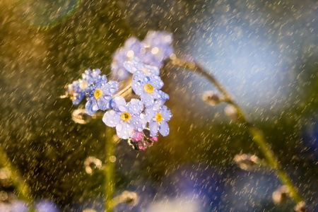 Blue forget-me-not flower in the grass with water haze