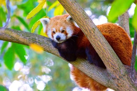 Panda rojo relajante en la rama