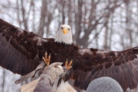 Landing eagle Stock Photo