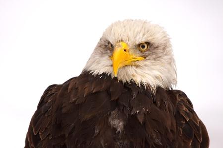 silhouette aquila: Silhouette Eagle