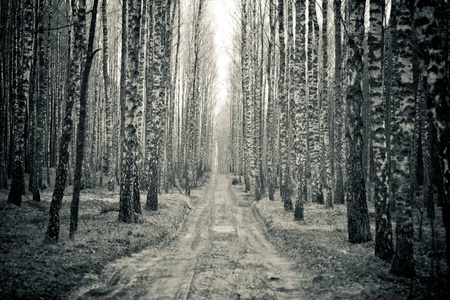 Birch black and white forest