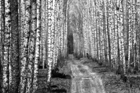 Birch forest photo