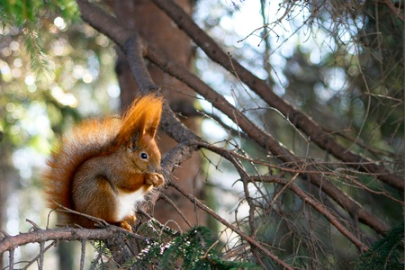 fluffy tuft: Red squirrel in the natural environment Stock Photo