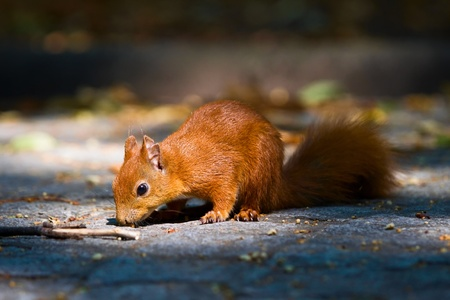 Red young squirrel on the pavement in Warsaw Royal Baths park photo