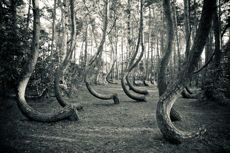 bended: The famous Gryfino mysteriously curved pine trees