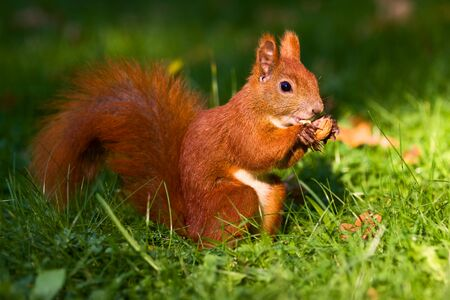 City park common red squirrel eating nut photo