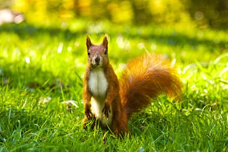 fluffy tuft: City park common red squirrel eating nut