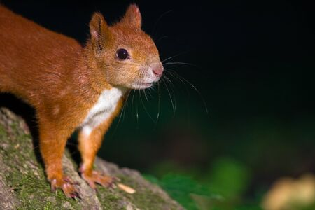fluffy tuft: Curious young red squirrel looking at the camera Stock Photo