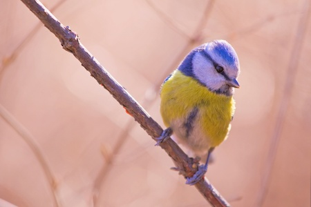 Blue tit on the branch in the sunse